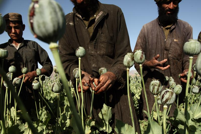 Harvesting opium in a poppy field in Farah Province, May 2009.