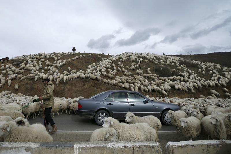 Sheep return from grazing near Tbilisi, November 2015.