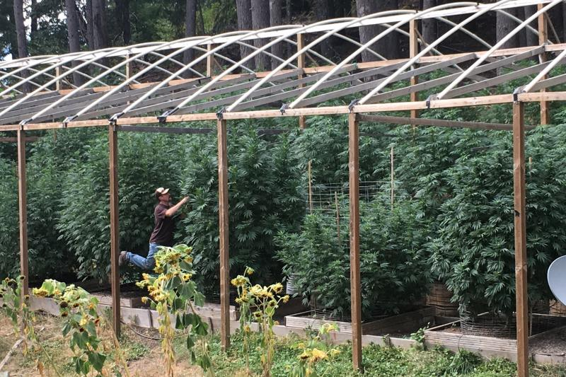 Cannabis grower Steve Dillon tends to his plants on his farm in Humboldt County, California, U.S. August 2016.