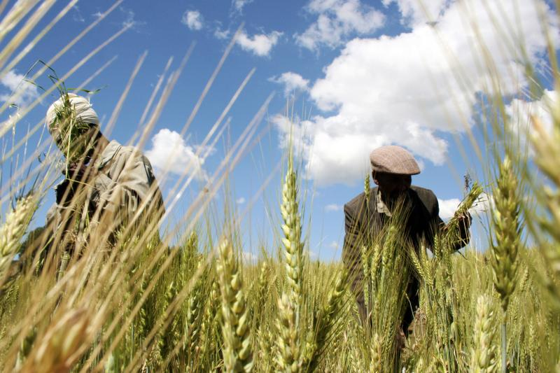Ethiopian farmers collect wheat north of Addis Ababa, October 21, 2009.
